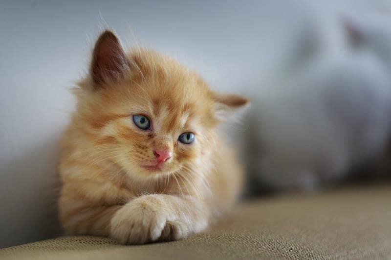 子猫が猫砂を食べる場合