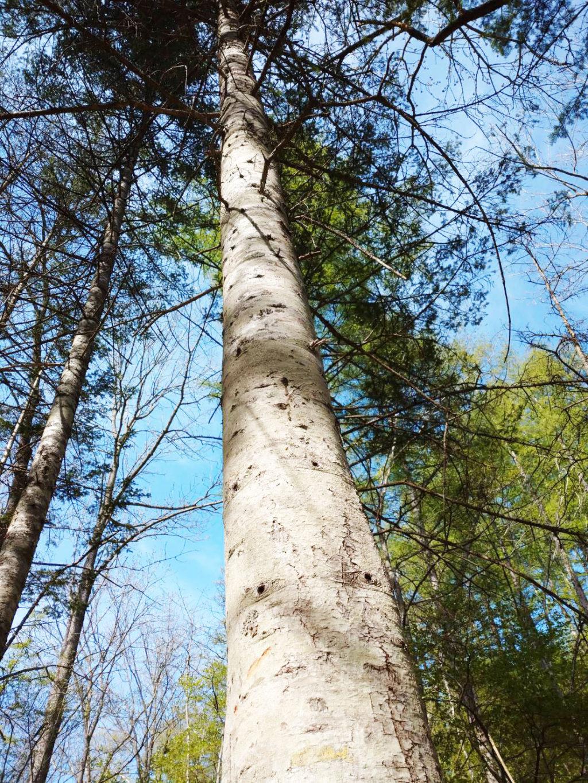 北海道産トドマツの木